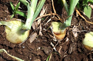 Onion66