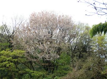 Yamazakura415