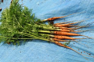Carrot421