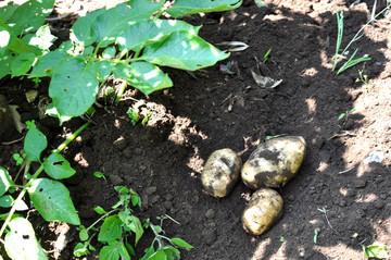 Potato526