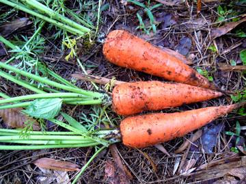 Carrot530