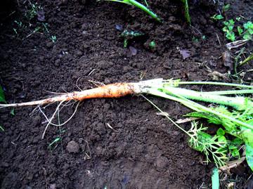 Carrot67